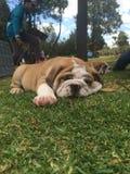De slaap van de babybuldog Royalty-vrije Stock Foto's