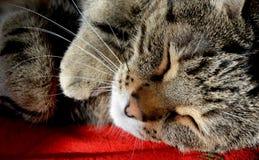 De slaap van de gestreepte katkat op het rode tapijt Stock Foto