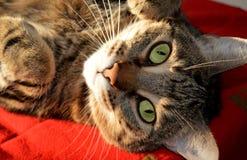 De slaap van de gestreepte katkat op het rode tapijt Stock Foto's