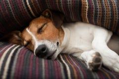 De slaap van de hond Stock Foto