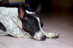 De slaap van de hond Royalty-vrije Stock Afbeelding