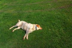 De slaap van de hond op het gras Stock Afbeeldingen