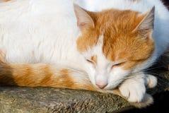 De slaap van de kat Stock Foto