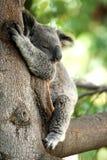 De slaap van de koala in een boom Royalty-vrije Stock Afbeeldingen