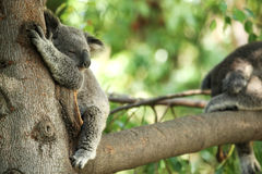 De slaap van de koala in een boom stock fotografie