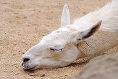 De slaap van de lama stock foto