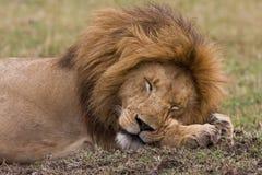 De slaap van de leeuw Royalty-vrije Stock Foto's