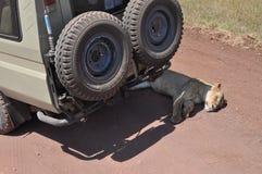 De slaap van de leeuw onder de jeep tijdens safari Stock Afbeeldingen