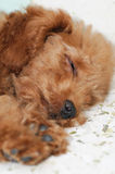 De slaap van de Poedel van het stuk speelgoed Stock Fotografie