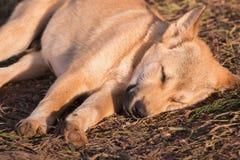 De slaap van de puppyhond op grond en ochtendzonlicht Stock Fotografie