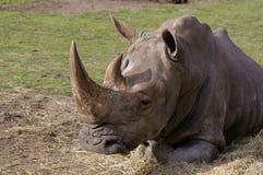 De slaap van de rinoceros Royalty-vrije Stock Afbeeldingen