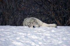 De slaap van de wolf in de sneeuw Royalty-vrije Stock Fotografie