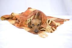 De slaap van een het rassenhond van de Tekkel stock afbeelding