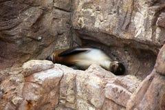 De Dutjes van de zeeleeuw op een Rotsachtige Richel stock afbeeldingen