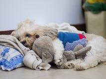 De slaap van het de retrieverpuppy van Shihtzu met oud stuk speelgoed op het bed Stock Foto's