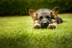 De slaap van het Duitse herderpuppy op een warme de zomerdag Royalty-vrije Stock Afbeeldingen