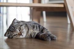 De slaap van het kattenkatje op houten vloer Stock Foto's