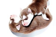 De slaap van het puppy. Royalty-vrije Stock Afbeelding