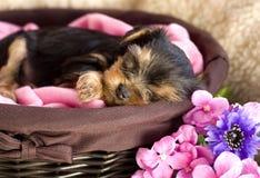 De Slaap van het Puppy van de Terriër van Yorkshire stock afbeeldingen