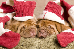 De Slaap van het Puppy van Nice Royalty-vrije Stock Afbeelding
