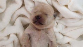 De slaap van de het puppyhond van Labrador op witte deken stock footage