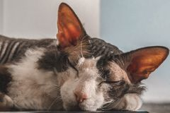 De slaap van de Sphynxkat in de zon bij witte achtergrond royalty-vrije stock foto