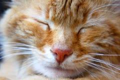 De slaapclose-ups van roodharigekatjes van een snuit stock fotografie