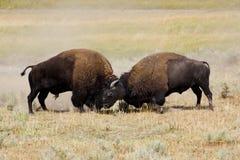 De slag van de bizon Stock Afbeeldingen