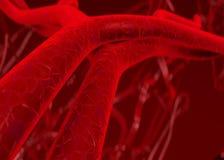 De slagaders van het bloed aders Stock Foto