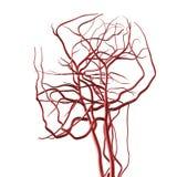 De Slagaders van het hoofd en van Hersenen vector illustratie
