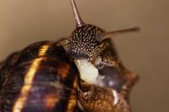 De slak is een uniek levend schepsel dat door shell wordt beschermd en niet alleen in de wildernis kan leven, maar ook thuis royalty-vrije stock afbeeldingen