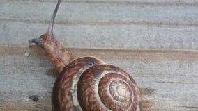 De slak komt uit shell en openbaart zijn hoornen stock video