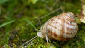 De slak kruipt in het groene gras stock video