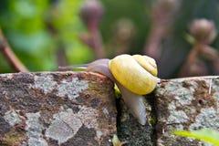 De slak kruipt langzaam langs steenmuur in de tuin Stock Afbeeldingen