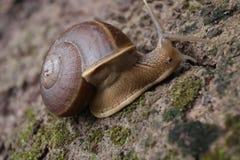 De Slak kruipt op de rots in het bos stock foto's