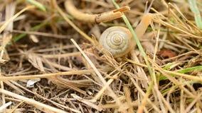 De slak met shell kruipt op droog gras of stro stock videobeelden