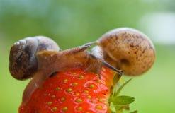 De slak van de tuin Stock Foto