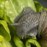 De slak van de wijnstok bij voer Stock Foto