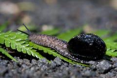 De slak van het land op varenvarenblad Stock Foto
