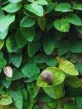 De slak verlaat groen blad Stock Foto