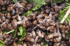 De slakken van schroefaspersa bij een slaklandbouwbedrijf royalty-vrije stock fotografie