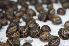 De slakken van schroefaspersa bij een slaklandbouwbedrijf stock afbeeldingen