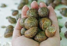 De slakken van schroefaspersa bij een slaklandbouwbedrijf in een landbouwershand royalty-vrije stock foto's