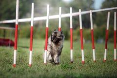 De slalom van de hondbehendigheid Royalty-vrije Stock Afbeelding
