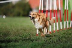De slalom van de hondbehendigheid Royalty-vrije Stock Fotografie