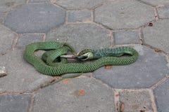 De slang eet een hagedis Stock Foto's