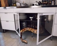 De slang in de keuken Stock Foto's