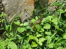 De slang kijkt uit gras royalty-vrije stock afbeelding