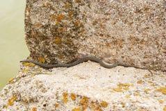 Slang op de steen Stock Foto