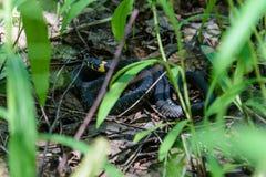 De slang krulde voorzichtig omhoog in het gras stock afbeelding